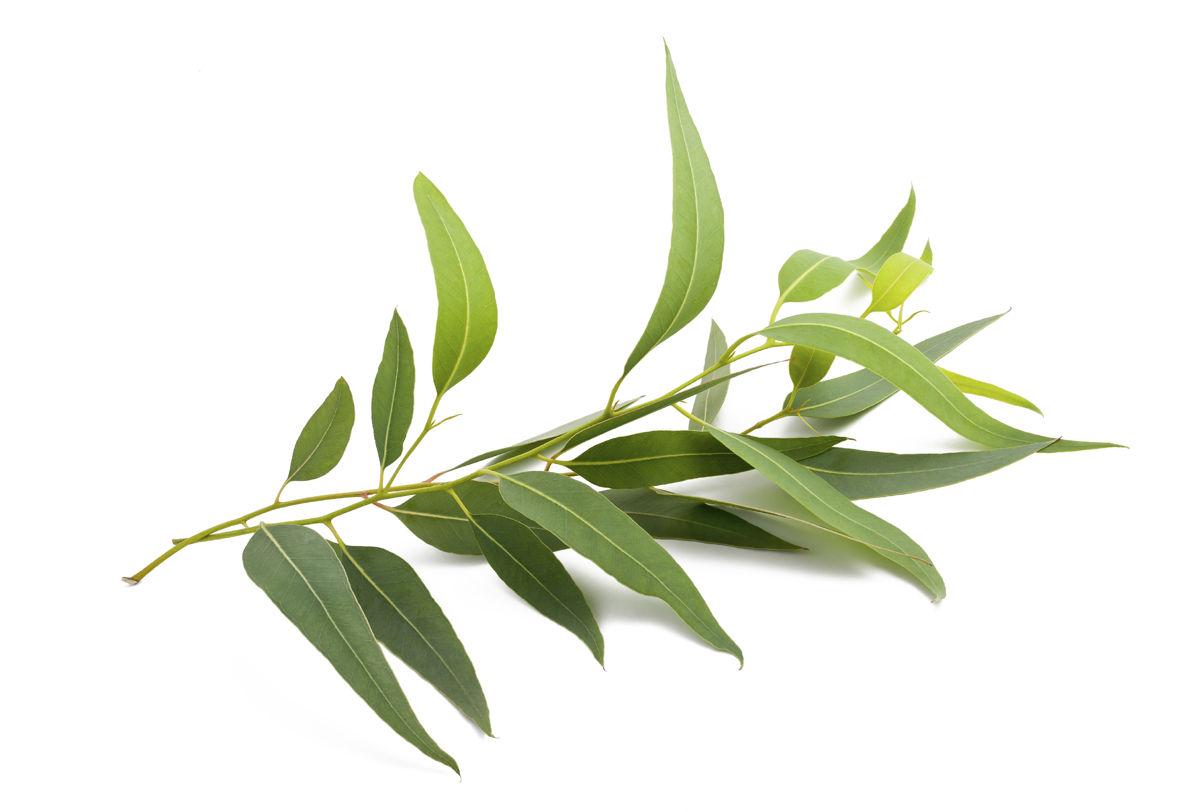 Eucalyptus-branch-eucalipto