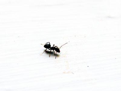 Para sacar las hormigas de la casa