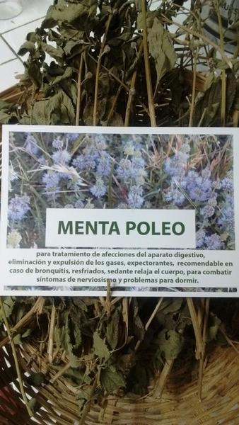 PENNYROYAL MENTA POLEO mentha pulegium